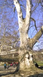 Sa visinom od 34 i krošnjom od 49 metara ovo drvo daje hlad od 1.885 kvadratnih metara